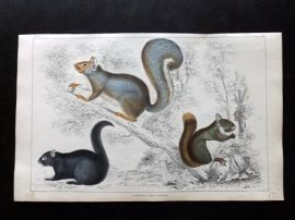 Goldsmith 1851 Hand Col Print. American, Grey, Chickaree Squirrel 17.